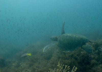 _DSC2308 Green sea turtle (Chelonia mydas) Isla San Pedro Martir, Gulf of California, 2013