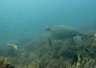 _DSC2309 Green sea turtle (Chelonia mydas) Isla San Pedro Martir, Gulf of California, 2013