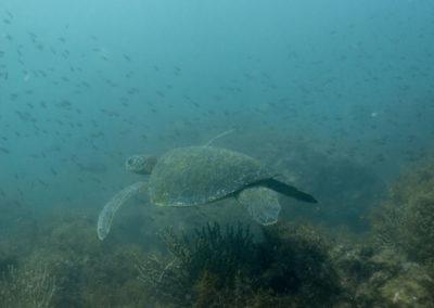 _DSC2312 Green sea turtle (Chelonia mydas) Isla San Pedro Martir, Gulf of California, 2013
