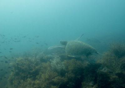 _DSC2314 Green sea turtle (Chelonia mydas) Isla San Pedro Martir, Gulf of California, 2013