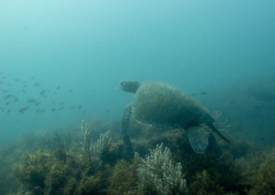 _DSC2316 Green sea turtle (Chelonia mydas) Isla San Pedro Martir, Gulf of California, 2013