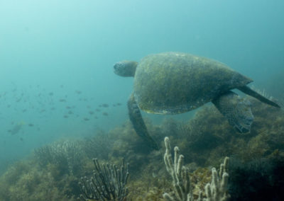 _DSC2320 Green sea turtle (Chelonia mydas) Isla San Pedro Martir, Gulf of California, 2013