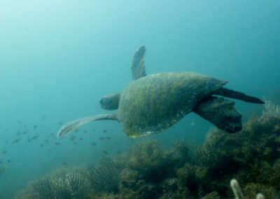 _DSC2321 Green sea turtle (Chelonia mydas) Isla San Pedro Martir, Gulf of California, 2013