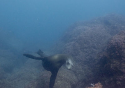 _DSC2461 California Sea Lion (Zalophus californianus californianus) Isla San Pedro Martir, Gulf of Califronia, 2013