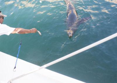 _DSC2551 California Sea Lion (Zalophus californianus californianus) Isla San Pedro Martir, Gulf of Califronia, 2013