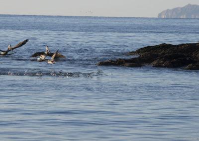 _DSC2895 brown pelican (Pelicanus occidentalis) feeding on balyhoo baitfish,Bahia Julio Via, Central Gulf of California, 2013