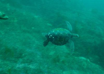 _DSC3006 Green sea turtle (Chelonia mydas) Isla San Pedro Nolasco, Gulf of California, 2013