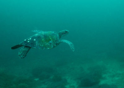 _DSC3009 Green sea turtle (Chelonia mydas) Isla San Pedro Nolasco, Gulf of California, 2013