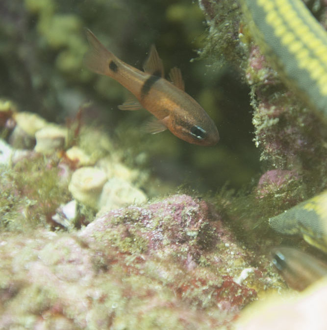 Cardinal fishes