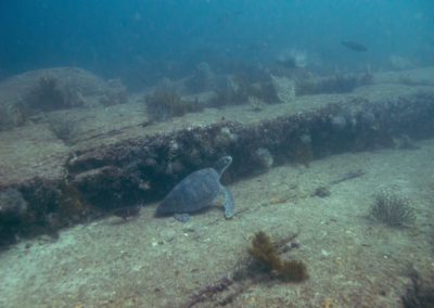 _DSC7147 Green turtle (Chelonia mydas) Isla Catalina, Gulf of California, Mexico 2012