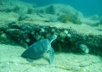 _DSC7148 Green turtle (Chelonia mydas) Isla Catalina, Gulf of California, Mexico 2012 2012