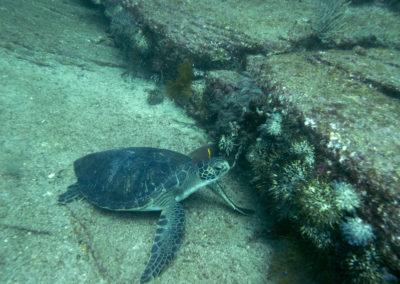 _DSC7149 Green turtle (Chelonia mydas) Isla Catalina, Gulf of California, Mexico 2012