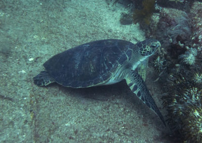 _DSC7150 Green turtle (Chelonia mydas) Isla Catalina, Gulf of California, Mexico 2012
