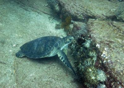 DSC7150E Green turtle (Chelonia mydas) Isla Catalina, Gulf of California, Mexico 2012