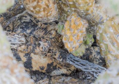 DSC_0165 San Esteban chuckwalla endemic species (Sauromalus varius) camoflaged to match the cactus