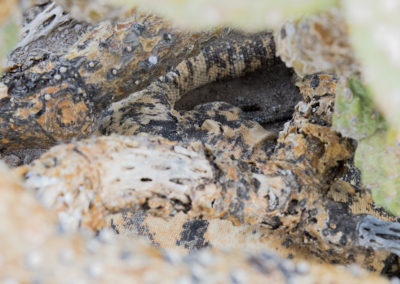 DSC_0167 San Esteban chuckwalla endemic species (Sauromalus varius) camoflaged under cactus