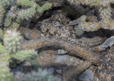 DSC_0175 San Esteban chuckwallaendemic species(Sauromalus varius) hidden under cactus