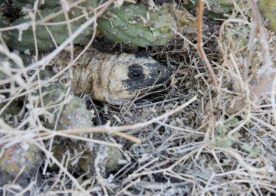 DSC_0179 San Esteban chuckwalla endemic species(Sauromalus varius) hidden under cactus