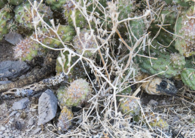 DSC_0182 San Esteban chuckwalla endemic species (Sauromalus varius) hidden under cactus