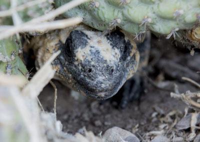DSC_0183San Esteban chuckwalla endemic species (Sauromalus varius) hidden under cactus