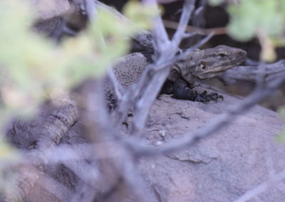 DSC_0187 Isla San Esteban spiny tailed iguana endemic species (Ctenosaur conspicuosa)