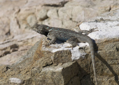 DSC_0208 Clarks spiny lizard (Sceloporous clarkii)