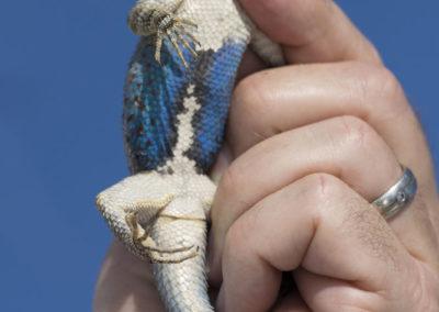 DSC_0213 Clarks spiny lizard (Sceloporous clarkii) Isla San Pedro Nolasco, Gulf of California, Mexico 2015