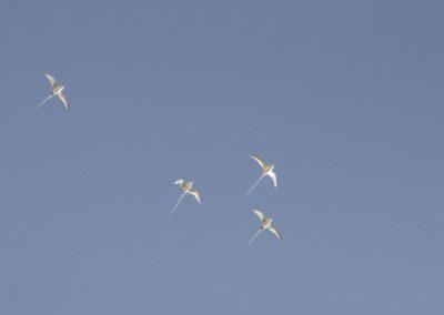 DSC_0236 Tropicbirds (Phaethon aethereus) circle high over head at Isla San Pedro Nolasco, Gulf of California, 2013