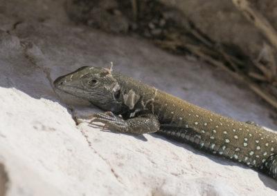 DSC_0237 Isla San Pedro Nolasco whiptail lizard endemic species (Aspidoscelis loacatus)