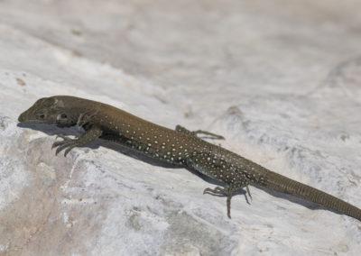 DSC_0241 Isla San Pedro Nolasco whiptail lizard endemic species (Aspidoscelis loacatus)