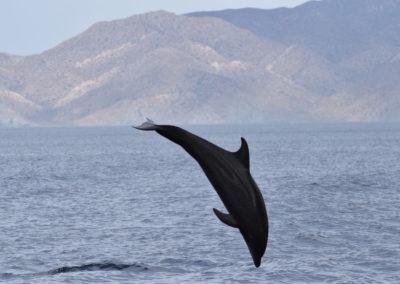 DSC_0349 Long beaked common dolphin (Delphinus capensis) near isla Carmen, Gulf of California, Mexico,2014