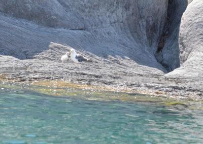 DSC_0354 Herring gull (Larus argentatus) mother and baby, Isla Coronados, Gulf of California 2011