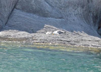 DSC_0357 Herring gull (Larus argentatus) mother and baby, Isla Coronados, Gulf of California 2011