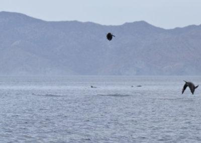 DSC_0361 Long beaked common dolphin (Delphinus capensis) near isla Carmen, Gulf of California, Mexico,2014
