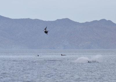 DSC_0362 Long beaked common dolphin (Delphinus capensis) near isla Carmen, Gulf of California, Mexico,2014