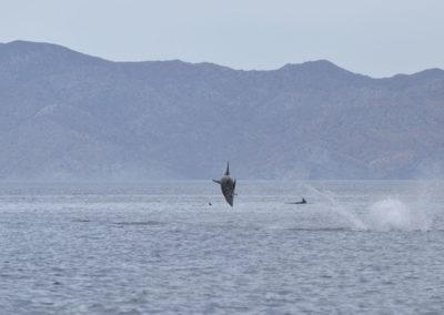 DSC_0363 Long beaked common dolphin (Delphinus capensis) near isla Carmen, Gulf of California, Mexico,2014