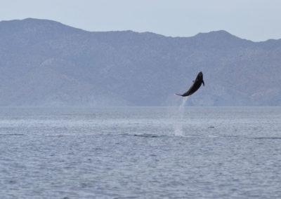 DSC_0366 Long beaked common dolphin (Delphinus capensis) near isla Carmen, Gulf of California, Mexico,2014