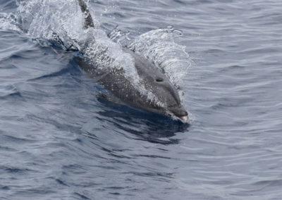 DSC_0376 Long beaked common dolphin (Delphinus capensis) near isla Carmen, Gulf of California, Mexico,2014
