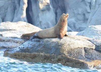 DSC_0397 California Sea Lion (Zalophus californianus californianus) Isla Coronados, Gulf of Califronia 2011