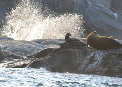 DSC_0406 California Sea Lion (Zalophus californianus californianus) Isla Coronados, Guld of Califronia 2011