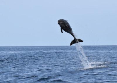DSC_0414 Long beaked common dolphin (Delphinus capensis) near isla Carmen, Gulf of California, Mexico,2014
