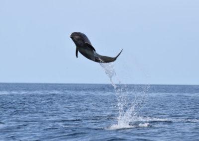 DSC_0418 Long beaked common dolphin (Delphinus capensis) near isla Carmen, Gulf of California, Mexico,2014