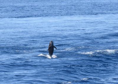 DSC_0446 Long beaked common dolphin (Delphinus capensis) near isla Carmen, Gulf of California, Mexico,2014