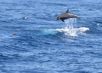 DSC_0459Long beaked common dolphin (Delphinus capensis) near isla Carmen, Gulf of California, Mexico,2014