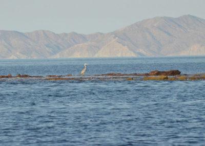 DSC_0554 Blue heron,