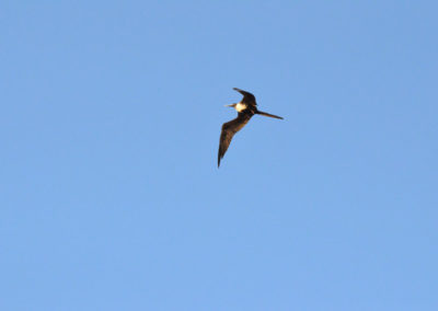 DSC_0569 Magnificent Frigate bird (Fregata magnificens) Isla Coronados, Gulf of California 2011