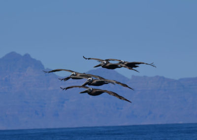 DSC_0592 brown pelicans (Pelicanus occidentalis) Isla Coronados, Gulf of California, 2011