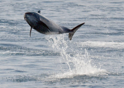 DSC_0592c Long beaked common dolphin (Delphinus capensis) near isla Carmen, Gulf of California, Mexico,2014