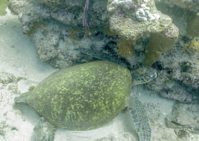 DSC_4636 Green sea turtle (Chelonia mydas) Cabo Pulmo Marine Park, Gulf of California, 2015