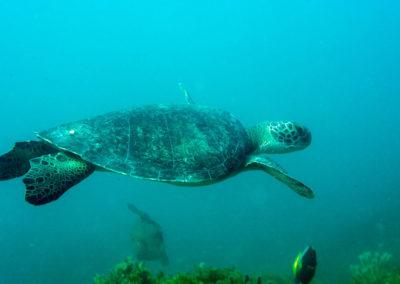 DSC_8165 Green sea turtle (Chelonia mydas) Isla San Pedro Nolasco, Gulf of California,2011